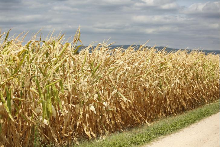 Фото №1 - Названа опасность кукурузного сиропа