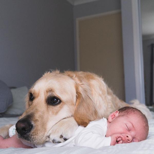 Фото №1 - Огромный пес опекает младенца с рождения: 20 милейших фото