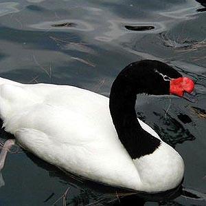 Фото №1 - Британский лебедь ищет подругу в интернете