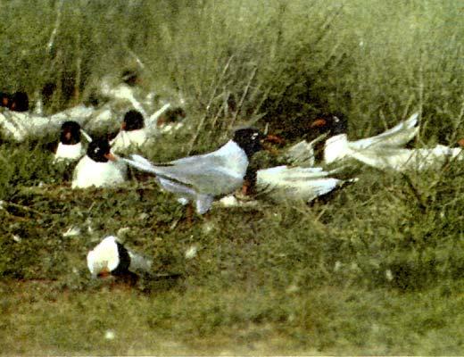 Фото №1 - Крик чайки