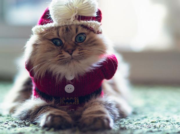 Фото №1 - Вырядился: забавные новогодние наряды домашних питомцев