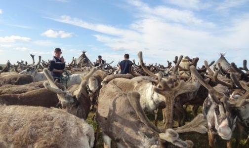 Фото №1 - На Ямале выясняют, почему оленей не прививали от сибирской язвы 9 лет