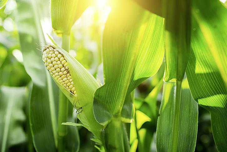 Фото №3 - Живая голова без тела, взрывы в кукурузе и другие новые открытия