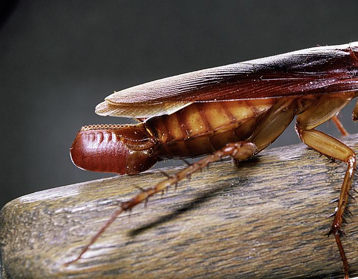 Фото №7 - Доктор зло: почему ни высокие технологии XXI века, ни опыт поколений не помогли истребить тараканов