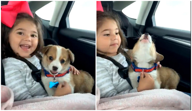 Фото №1 - Видео с щенком корги, подпевающим музыке в машине, посмотрели почти 2 миллиона раз