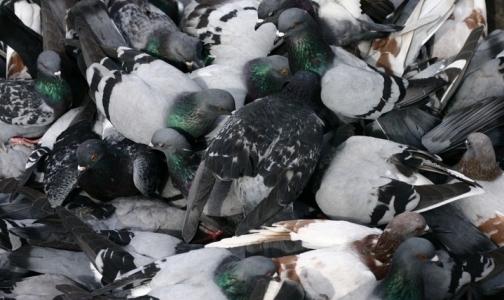 Фото №1 - Россельхознадзор испытывает вакцину для голубей