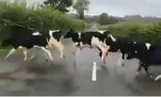 В «Твиттере» стало вирусным видео, на котором коровы очень странно переходят дорогу