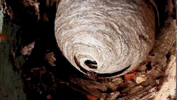 Фото №1 - Лайфхак: японский метод не допустить появления осиного гнезда в доме