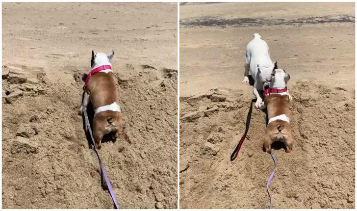 Фото №1 - Английский бульдог помогает французскому бульдогу забраться на песчаную гору (видео)