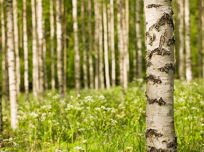 Фото №2 - Гороскоп друидов: дуб, берёза, маслина, бук