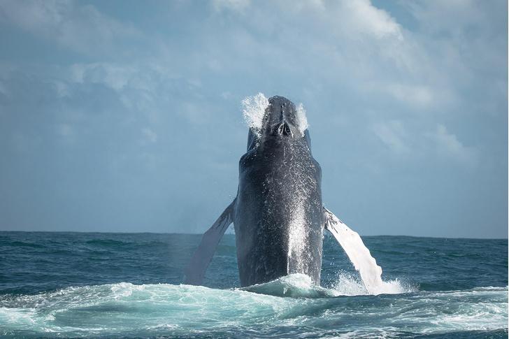 Фото №1 - Горбатый кит