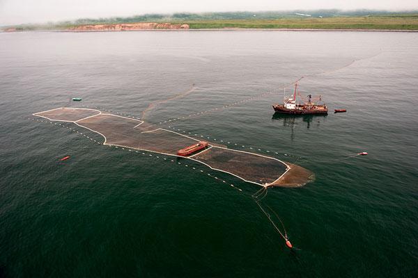 Фото №9 - Вечное возвращение: удивительные факты из жизни лососей
