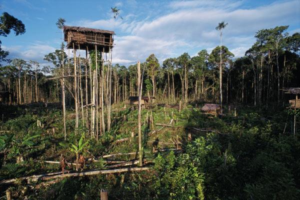 Фото №3 - Обитатели папуасских пентхаусов
