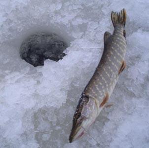 Фото №1 - Рыбаков выловили в Финском заливе