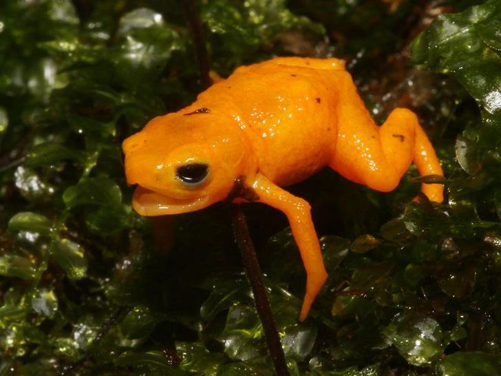 Фото №1 - Биологи открыли новый вид миниатюрных светящихся жаб