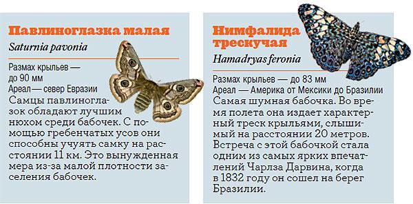 Фото №7 - Жизнь с размахом: энциклопедия бабочек