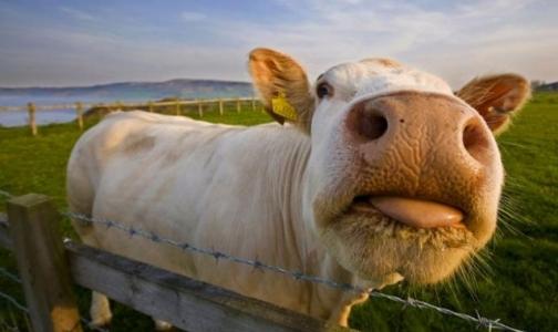 Фото №1 - Придется ли России при вступлении в ВТО использовать в животноводстве гормоны роста
