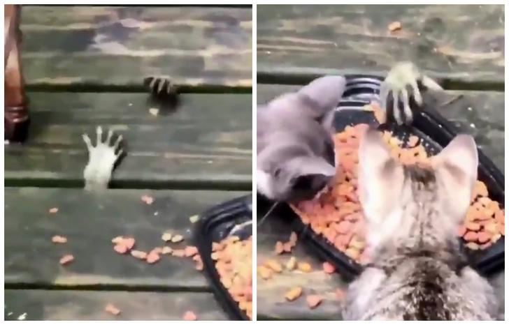 Фото №1 - Таинственные лапки высовываются из-под пола и воруют еду у котят (видео)