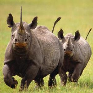 Фото №1 - Черные носороги на свободе