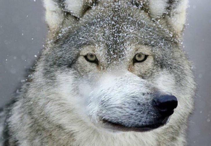 Фото №1 - Тест: отличи настоящую «пацанскую» цитату от цитаты из мема про волков