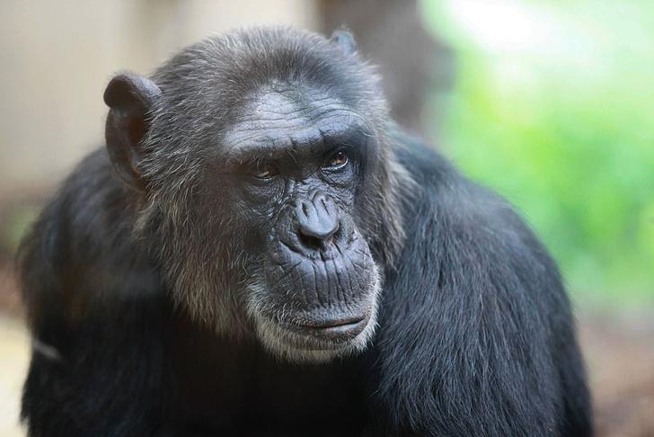 Фото №1 - Болезнь Альцгеймера обнаружили у шимпанзе