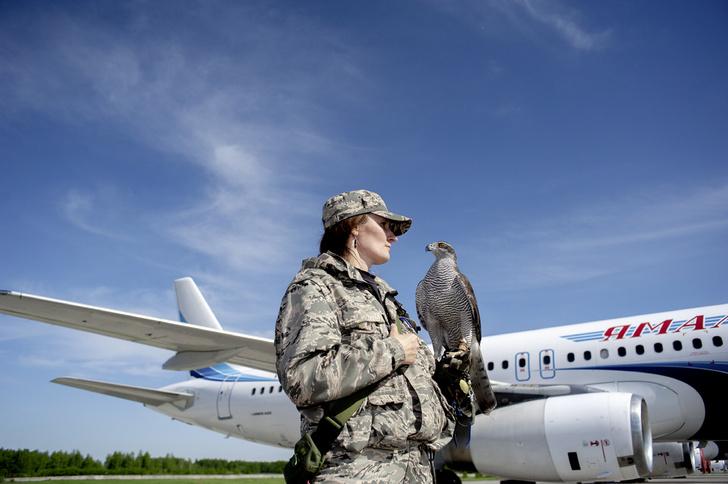 Фото №3 - Авиационные орнитологи: ястреб спасает самолеты