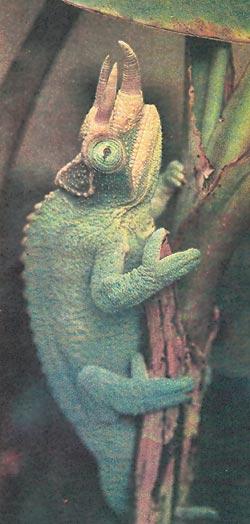 Фото №3 - Истинное лицо хамелеона