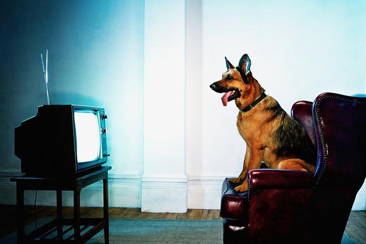 Фото №1 - Что видят собаки и кошки, когда смотрят телевизор