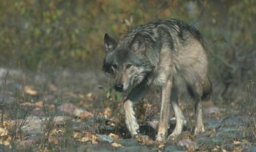 Фото №1 - У карельских волков впервые за полвека нашли бешенство