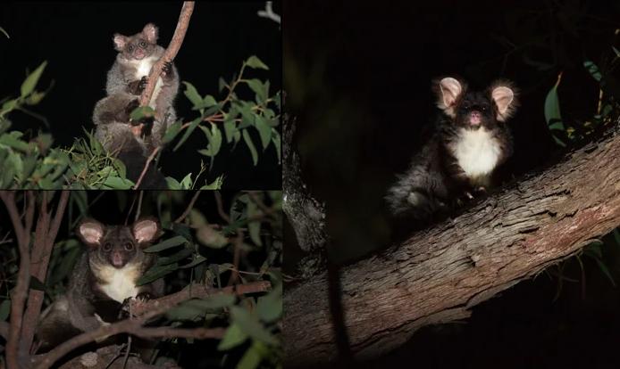 Фото №1 - В Австралии обнаружили два новых вида сумчатых