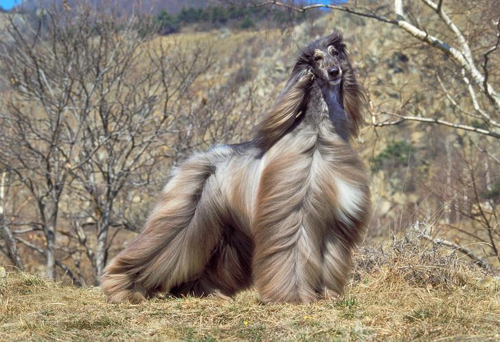 Фото №5 - 15 пород собак, которые не линяют