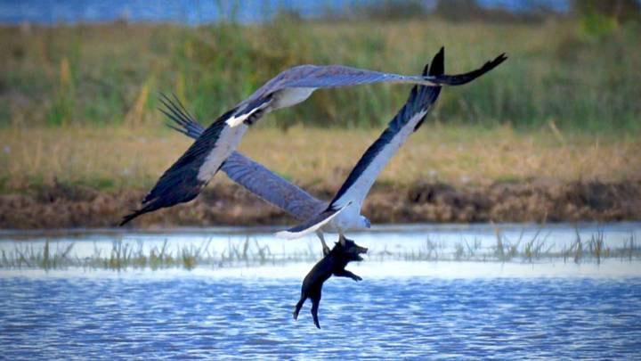 Фото №2 - Фотограф поймал уникальный момент: орел несет в когтях свинью