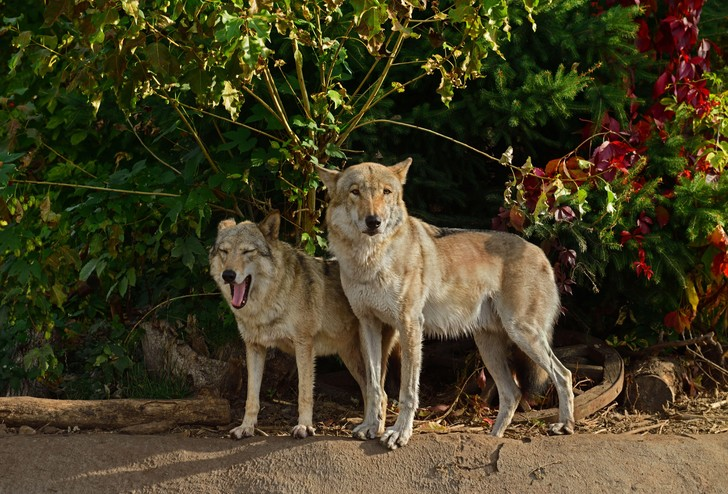 Фото №1 - В Тамбовской области почти не осталось волков