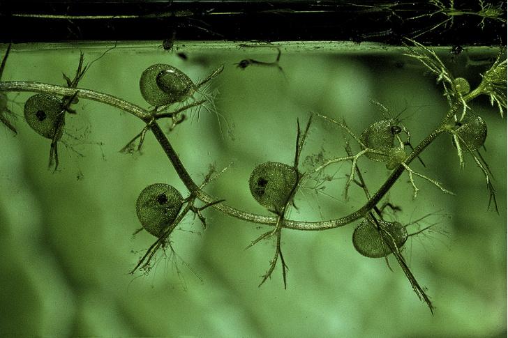 Фото №9 - 10 самых странных и страшных растений