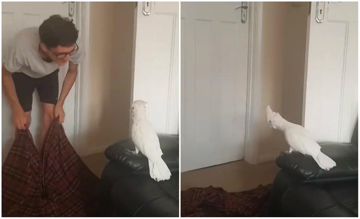 Фото №1 - Попугай драматично реагирует на фокус с «исчезновением» хозяина (видео)