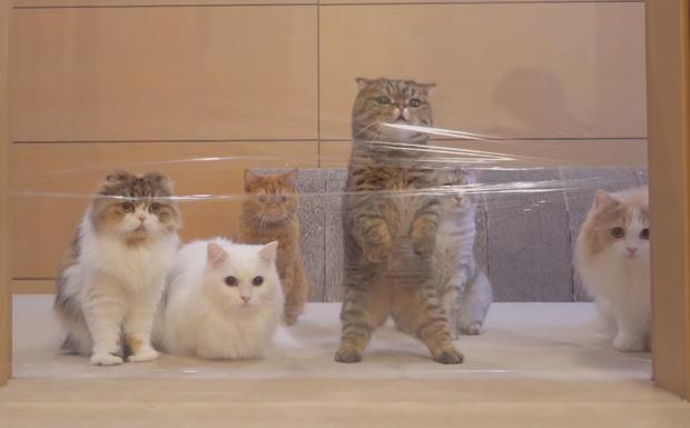 Фото №1 - Коты не могут пройти сквозь дверной проем, перетянутый прозрачной пленкой (видео)