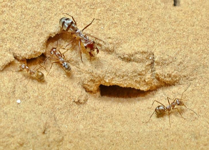 Фото №1 - Обнаружен самый быстрый муравей