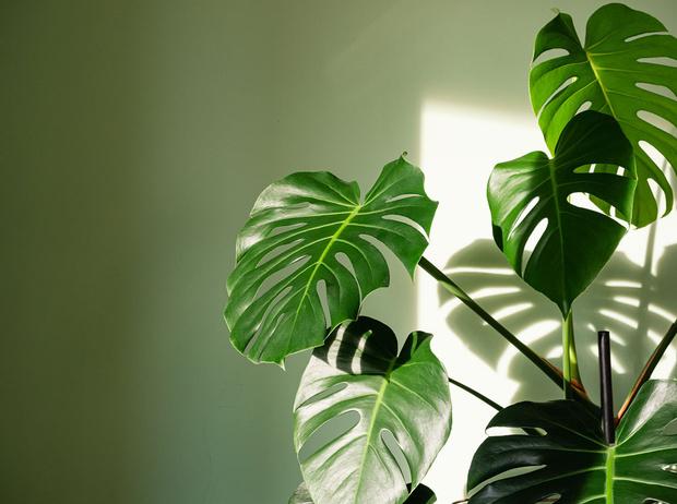 Фото №1 - Домашний доктор: 5 комнатных растений, которые защищают от вирусов