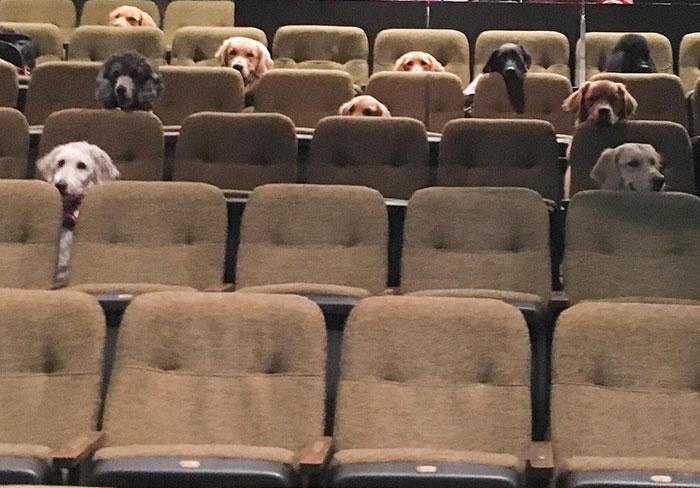 Фото №1 - Фото дня: собак-компаньонов учат вести себя прилично в кинотеатрах