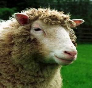 Фото №1 - Создатель овцы Долли больше не клонирует эмбрионы