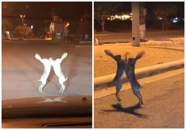 Фото №1 - Драка двух зайцев посреди улицы прославила их на весь Интернет (видео)