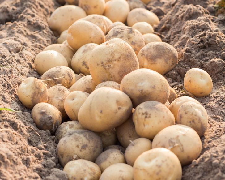 Фото №1 - NASA будет выращивать картофель в марсианских условиях
