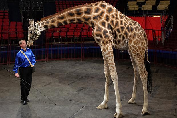 Фото №1 - В московском цирке впервые выступят жираф и козел-канатоходец