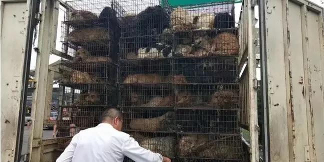 Фото №2 - Спасённая из китайской скотобойни собака стала служебной и уже дважды спасла жизнь новому хозяину (фото)