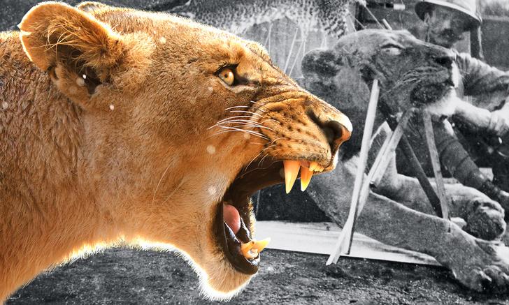 Фото №1 - Кровожадная история самого знаменитого в истории противостояния между человеком и львом