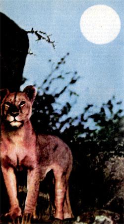 Фото №2 - Три года со львами