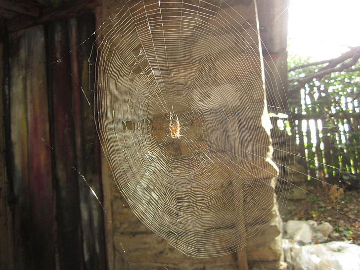 Фото №1 - Зачем пауки плетут паутину в пустых домах, где нет даже мух?