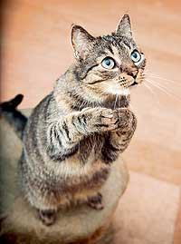 Shutterstock<strong>Нравится запах</strong><br /><br />Препараты валерианы лекарственной оказывают возбуждающее действие практически на всех кошачьих, включая львов и тигров. Эту реакцию вызывает летучее азотистое соединение актинидин, содержащееся в корневище валерианы, а также в актинидии. Кошки часто обгрызают актинидию прямо на корню. Считается, что причиной этого служит сходство запахов актинидина и непеталактона &mdash; эфирного масла, содержащегося в котовнике кошачьем (кошачьей мяте). А запах непеталактона, как предполагается, похож на запах полового феромона самок кошачьих.
