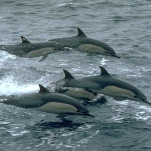 Фото №1 - Дельфины вымирают