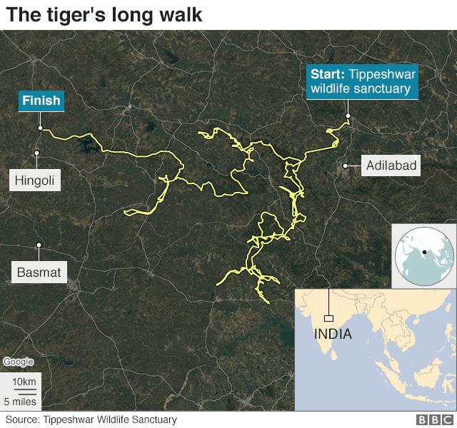 Фото №2 - В Индии настойчивый тигр прошел рекордные 800 миль в поисках самки